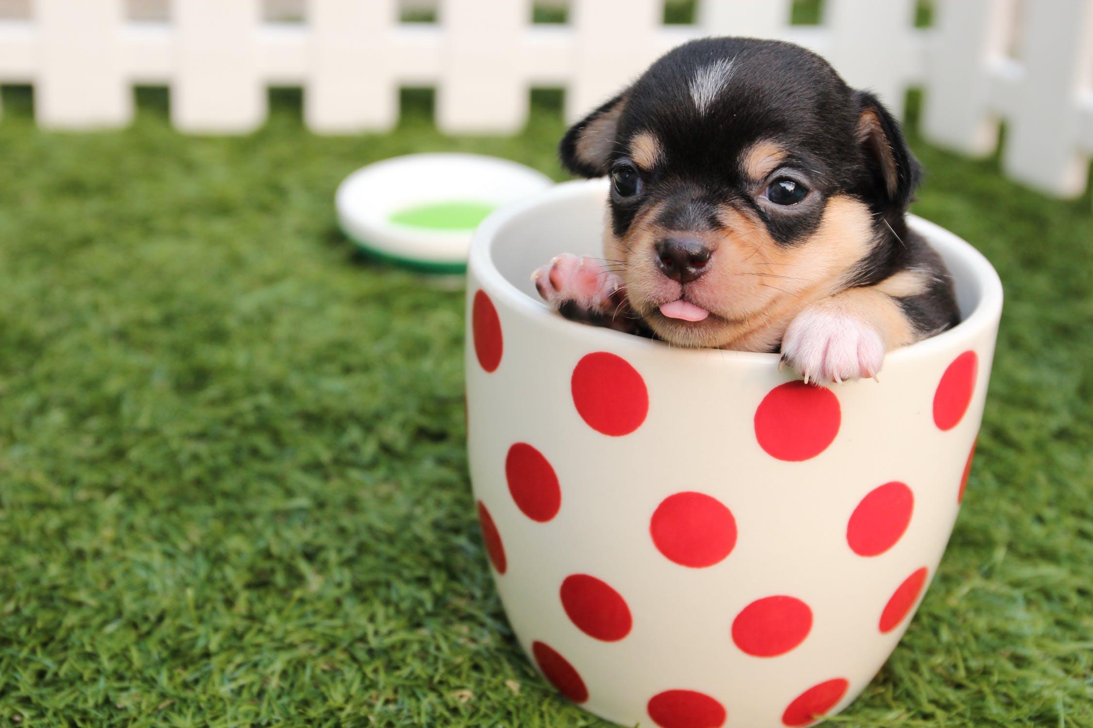 hund i kop