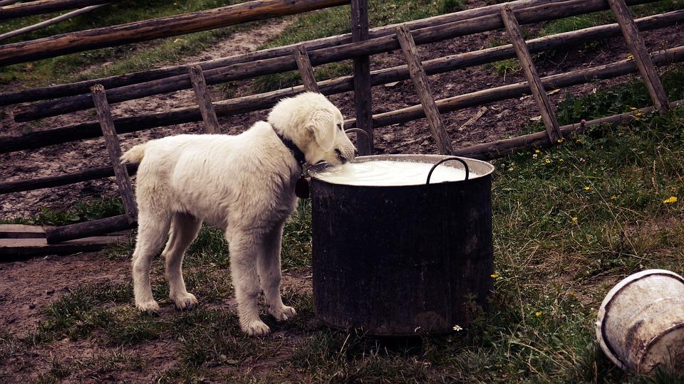 Hund drikker af stor gryde